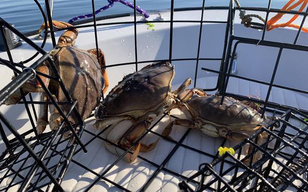 Three Dungeness crabs