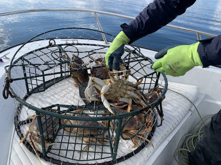 dungeness crabs in a trap
