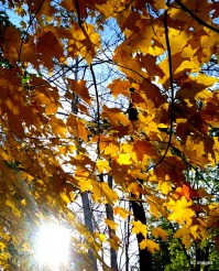 yellow leaves on a tree with the sun shining through