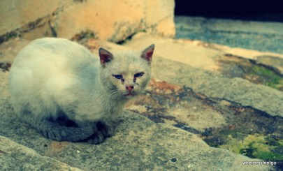 a dirty white cat with blue eyes staring at the camera.