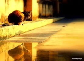 a cat sitting on a low curb near a puddle. the cat's reflection is in the puddle
