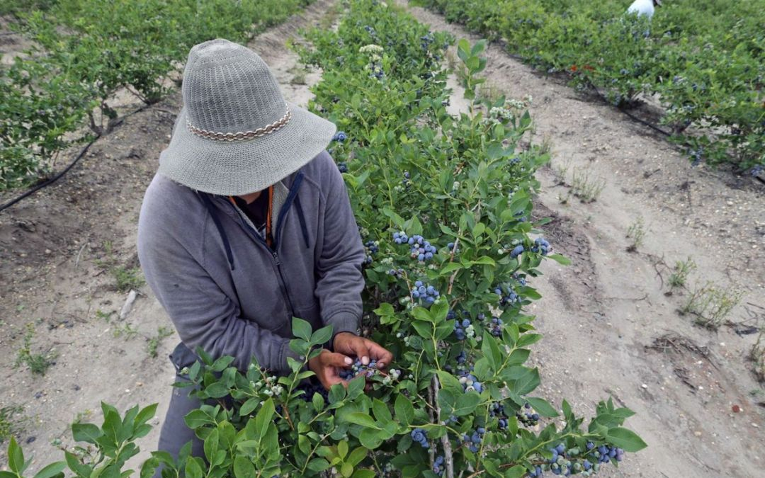 Conditions for blueberry pickers under scrutiny at area farms