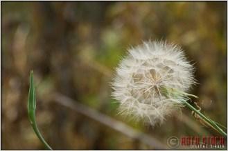 Dandelion Near Crested Butte, Colorado
