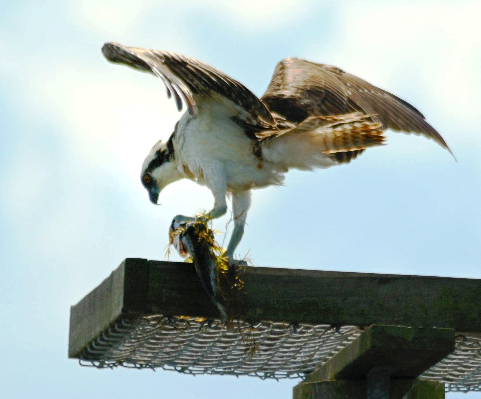 Osprey Eating - Viera Wetlands