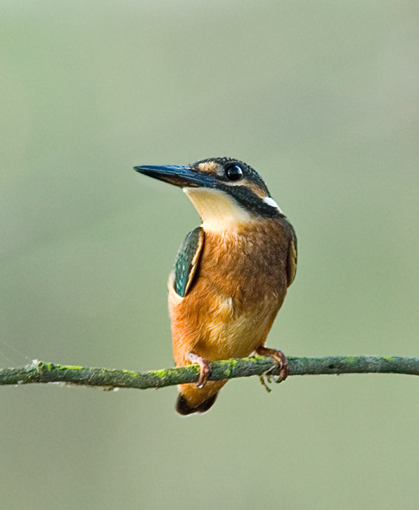 Common Kingfisher by Phil Kwong