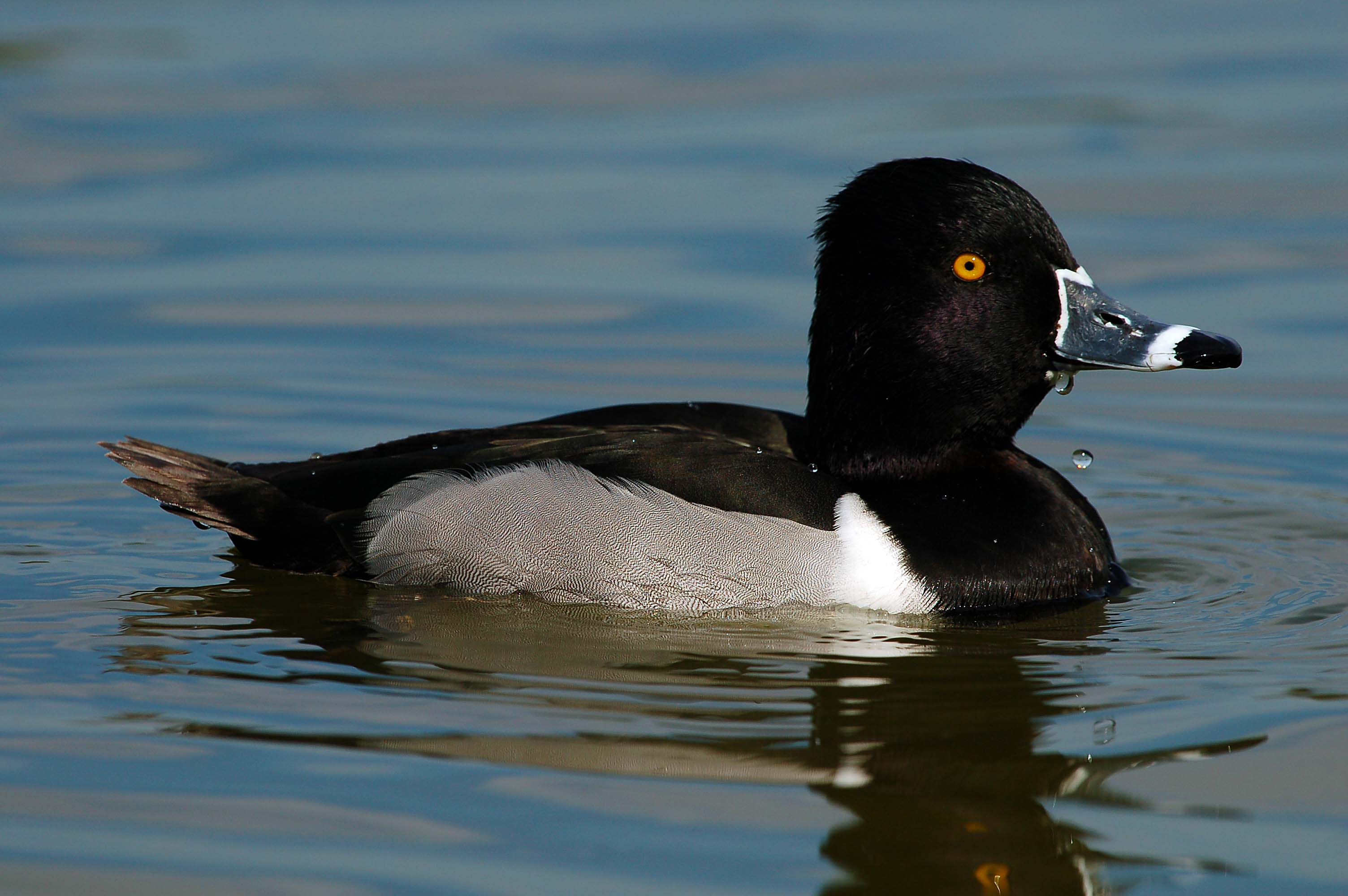 Ring-necked Duck at Lake Morton by Dan