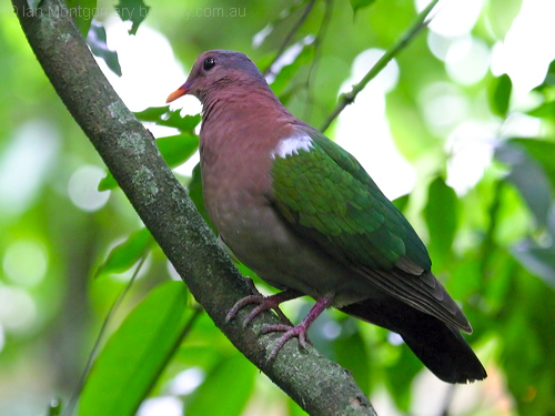 Emerald Dove by Birdway