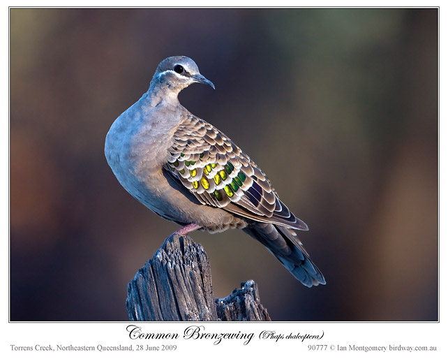 Common Bronzewing by Ian