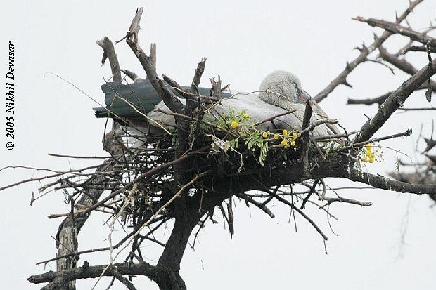 Asian Openbill (Anastomus oscitans) on nest by Nikhil Devasar