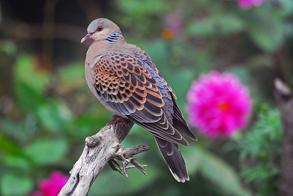 Bird of the Bible - Turtle Doves (1/6)