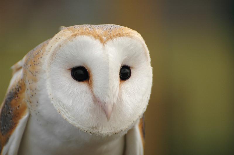 Cute Barn Tyto Owl Wallpaper Birds Of The Bible Barn Owls Lee S Birdwatching