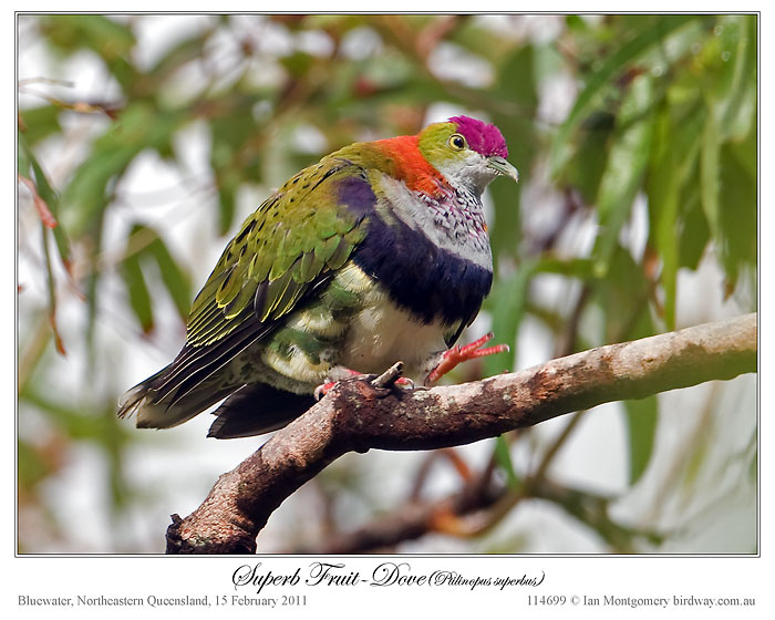 Bird of the Bible – Coat of Many Colors (3/4)