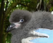 Great-winged Petrel (Pterodroma macroptera) Young ©WikiC