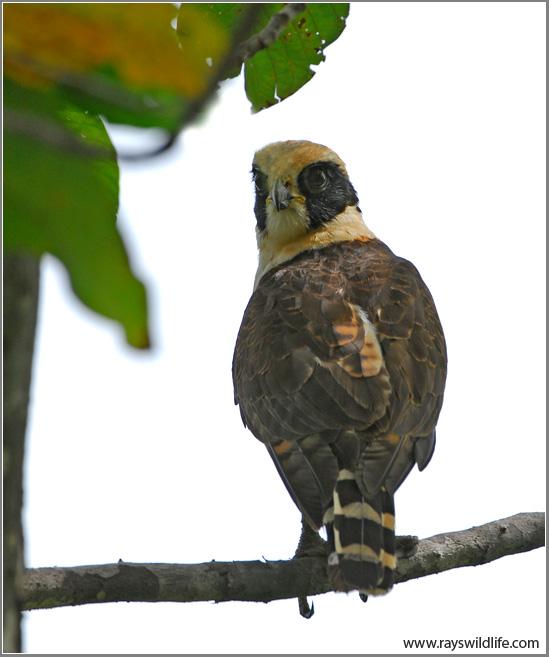 Bird of the Bible - Falcons II (1/2)