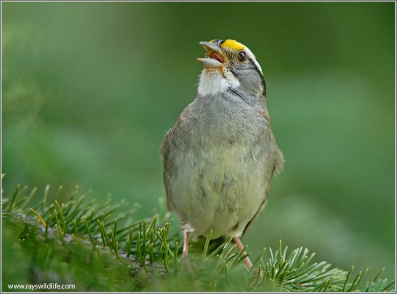 White-throated Sparrow Musician by Ray's Wildlife Photography