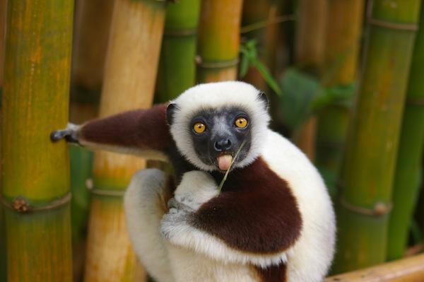 1_lemur