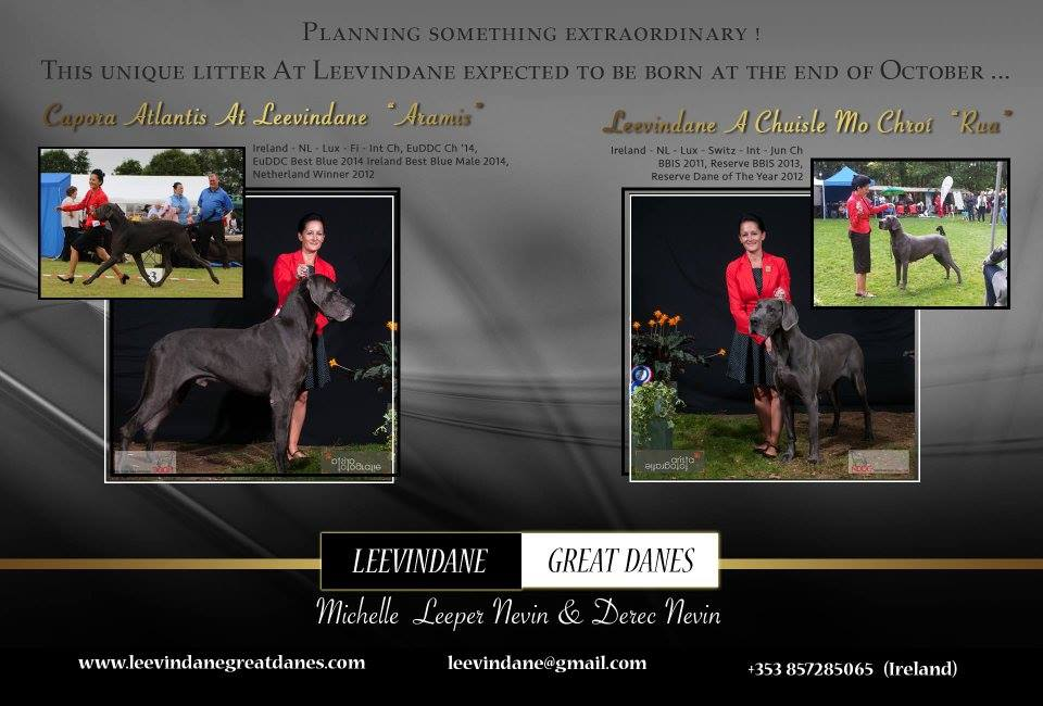 Multi 4 Champ Female Great Dane | Great Danes Ireland Leevindane