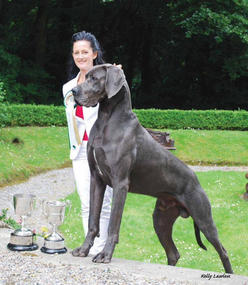 Blue great dane male aramis the most titled great dane in for Picture great