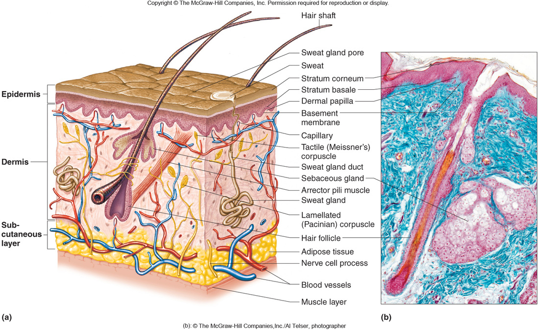 integumentary system diagram labeled 2006 ford f150 wiring lights chapter 6 science mr lefave layers of skin