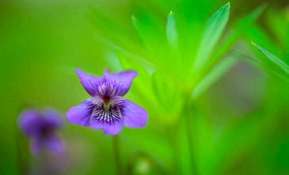 Violet closeup