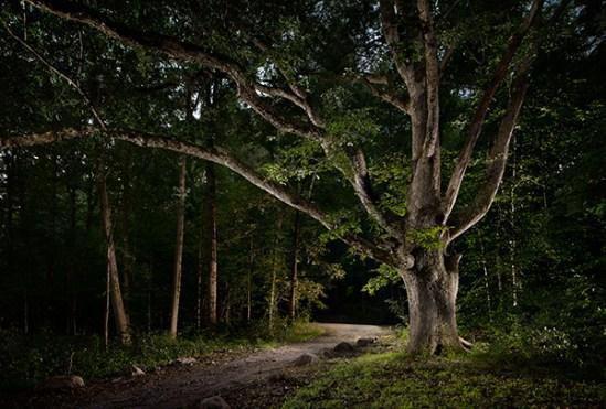 Two century old white oak tree