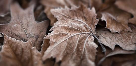 Frost on fallen leaves