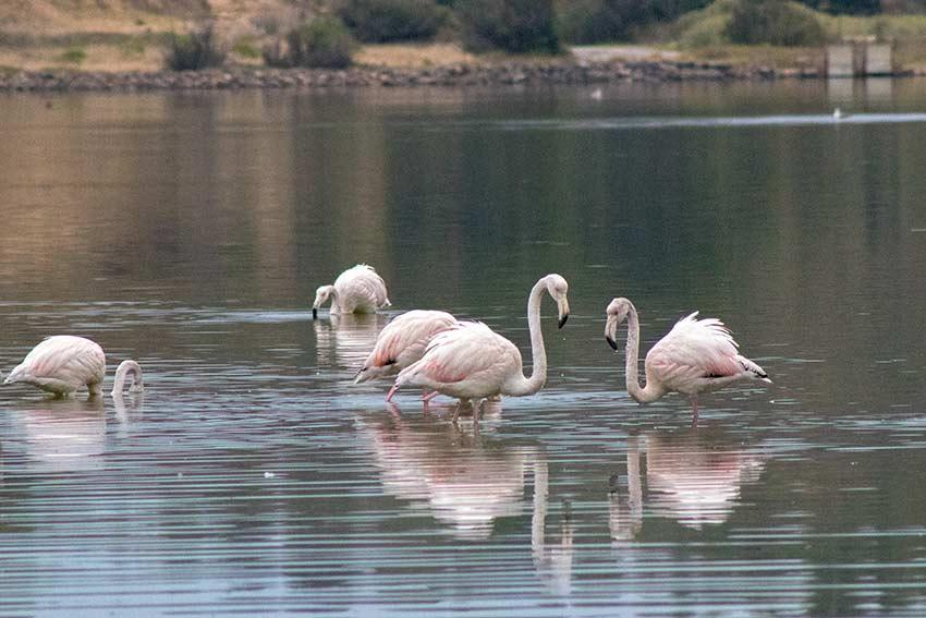 Flamingoes - Peyriac de Mer