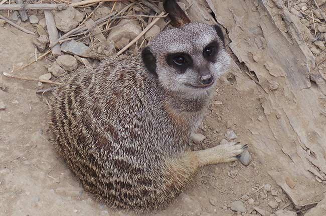 Meerkat of Sigean African Reserve