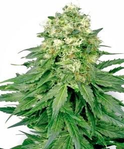 Legal Ganja Dispensary