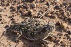 08052109PD_horned_lizard