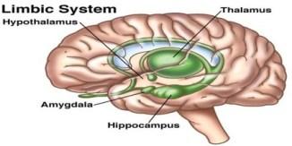 Limbic-System