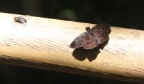 Brown moth, Iguazu Falls