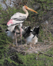 Painted stork with chicks
