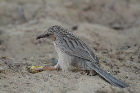 Common babbler
