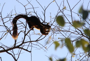 giant squirrel tail