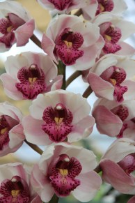 white deep pink orchid