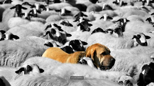 Dog protecting sheep
