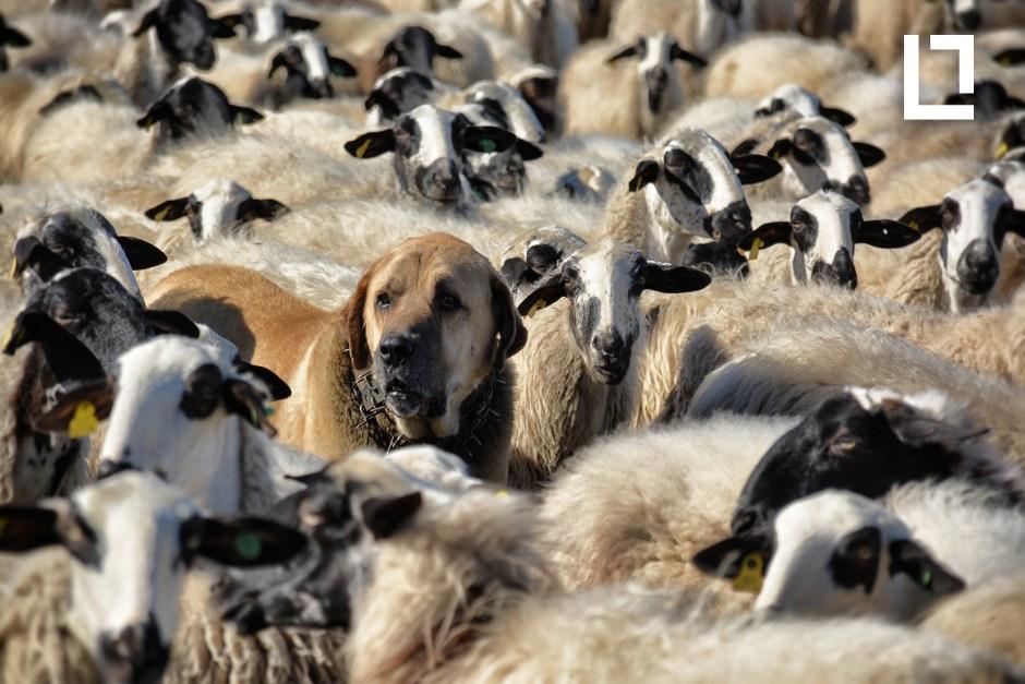 Mastín y ovejas