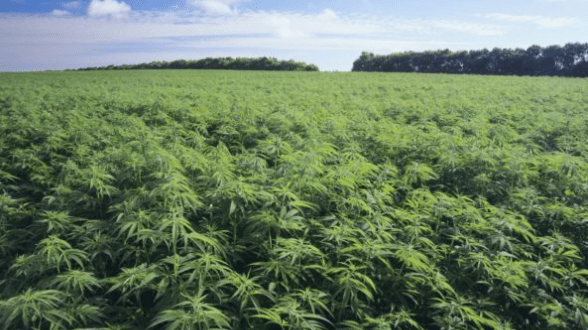 Zimbabwe legalizes Cannabis Cultivation for Medical & Scientific Purpose