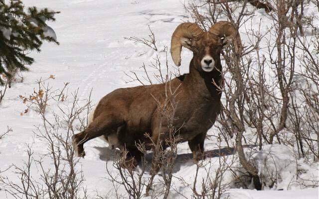 Big_Horn_Sheep._Photo_By_Matt_HowellJPG.JPG