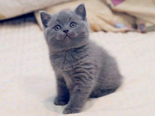 Сұр түсті котенка