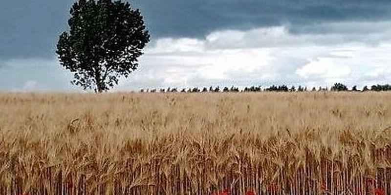 un champs de blé en Mayenne