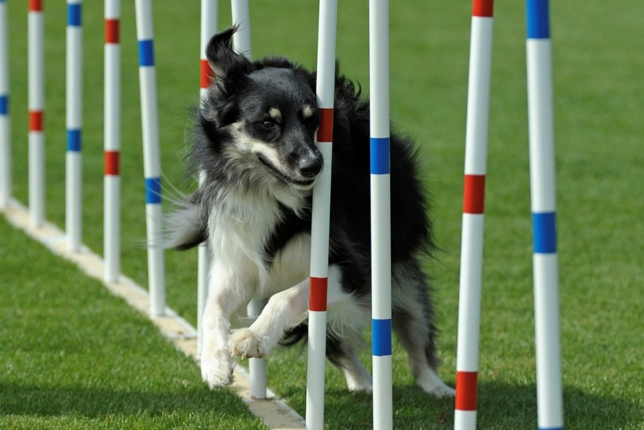 dog agility show with toddlers