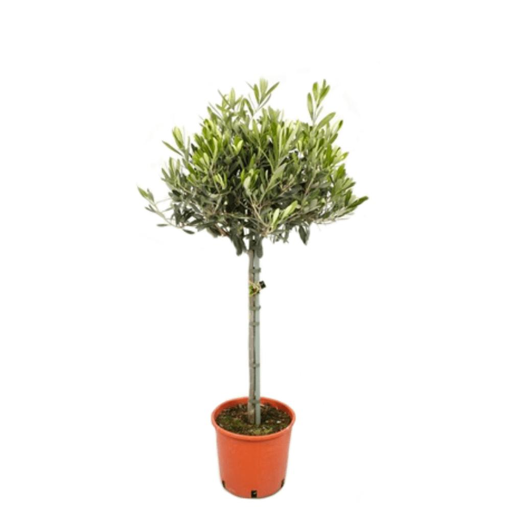 Olivier, arbuste, arbre, exposition ensoleillé, terrasse, extérieur