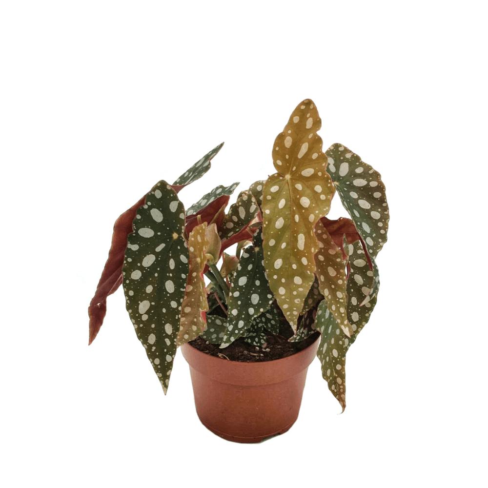 begonia maculata wightii, plante classique et facile d'entretien