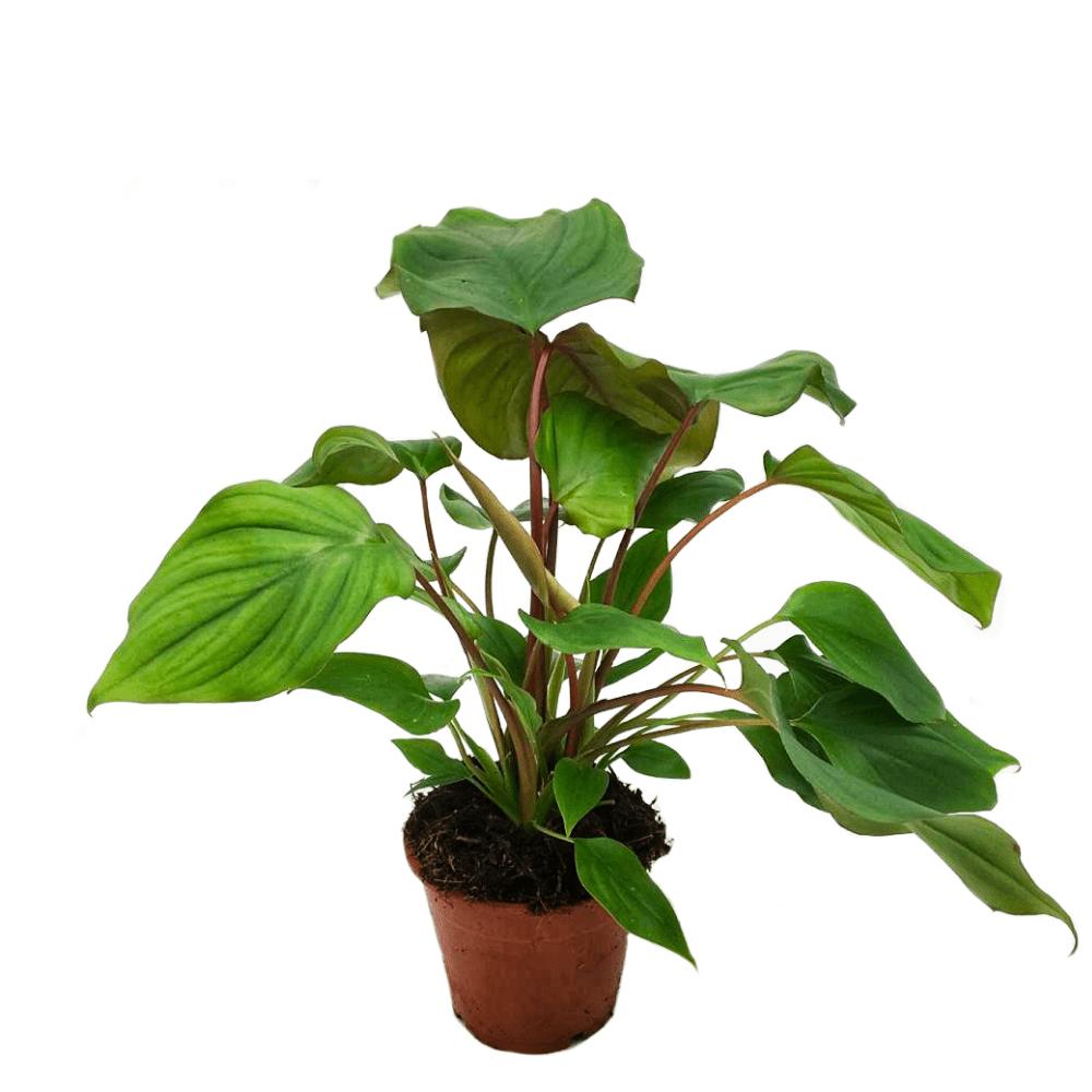 homalomena ruby, plante verte d'intéreur, facile d'entretien