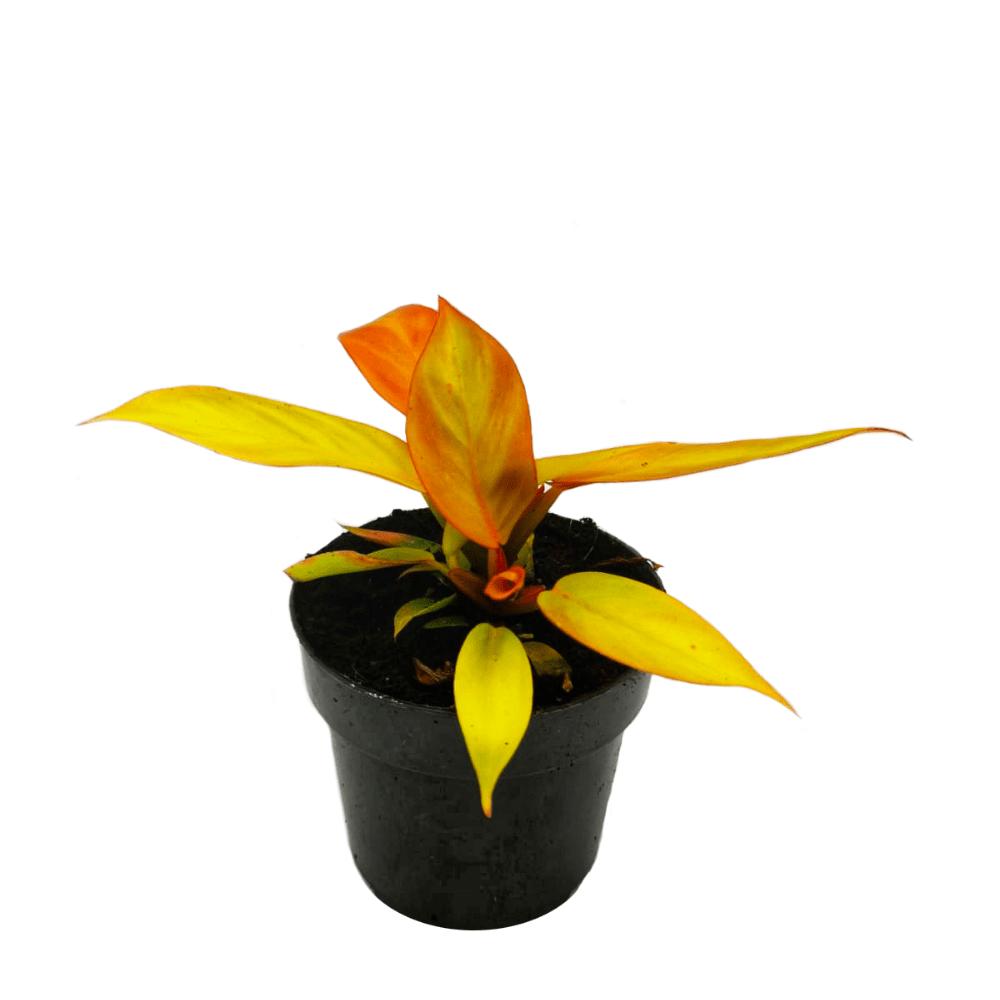 Philodendron prince of orange, plante verte d'intérieur, rare et facile d'entretien