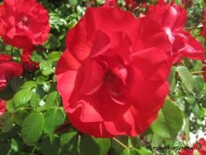 Photos de fleurs sauvages - côte adriatique slovène