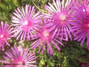 Fleurs sauvages côte adriatique slovène