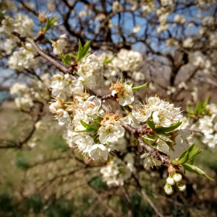Wild Plum blossoms at Lehigh Portland Trails